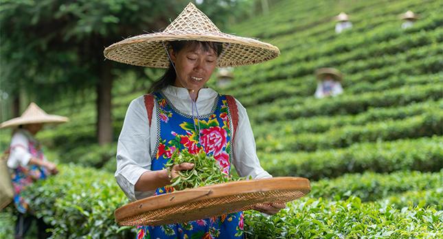 Granjas de té en China